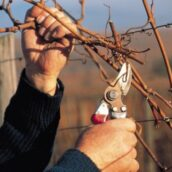 Le calendrier du vigneron