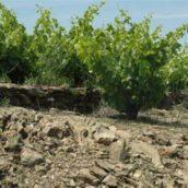 La composition des sols et sous-sols influencent le caractère des vins